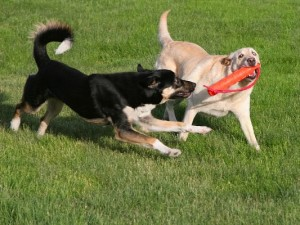 Two_Dogs_Playing_1669480