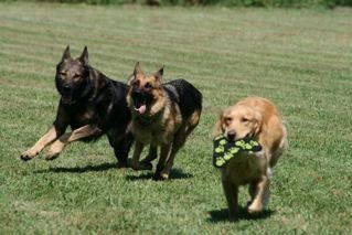 German Shepherds and Golden Retriever playing at WolfBrook Dog Club & Park