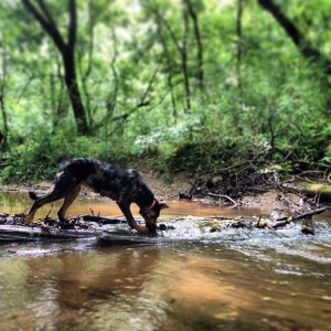 Beauceron in the dog park.
